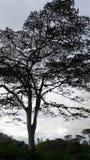 Là ` s molti ladri nell'albero del villaggio Fotografia Stock Libera da Diritti