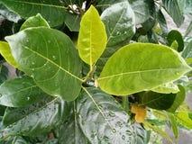 Jackfruit leaf Stock Images
