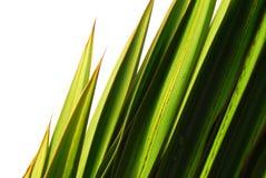Lámina de la hierba verde Fotografía de archivo libre de regalías