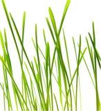 Lámina de la hierba verde - aislada Imágenes de archivo libres de regalías