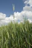 Lámina del trigo imágenes de archivo libres de regalías