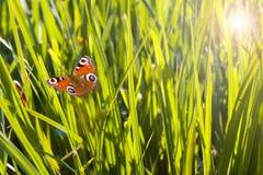 Láminas coloridas de la hierba y de la mariposa del vuelo Fotografía de archivo