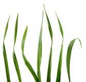 Láminas de la hierba Imagenes de archivo