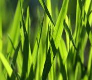 Láminas de la hierba Foto de archivo libre de regalías