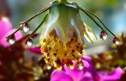 Lámpara de gotas de agua en la flor Fotografía de archivo libre de regalías