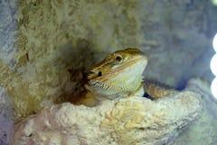 Lámpara que toma el sol del Agama del Hatchling del barbata barbudo de Pogona fotos de archivo