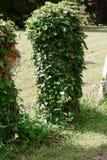 Lápida mortuaria cubierta en hiedra Imagenes de archivo