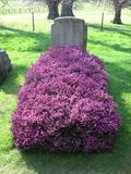 Lápida mortuoria y brezo Imagen de archivo libre de regalías
