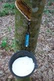 Látex da árvore da borracha Foto de Stock Royalty Free