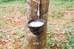 Látex da borracha natural ou gotejamento do leite da árvore da borracha na bacia no jardim de borracha borrado fotografia de stock royalty free