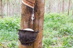 Látex da borracha natural ou gotejamento do leite da árvore da borracha na bacia no jardim de borracha borrado na província de Ph Imagens de Stock Royalty Free