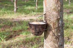 Látex de batida da árvore da borracha Fotos de Stock