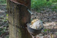 látex extraído da árvore da borracha Foto de Stock