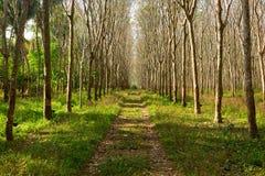 Látex extraído da fonte da árvore da borracha de borracha natural imagens de stock royalty free