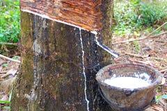 Látex extraído da fonte da árvore da borracha de borracha natural imagem de stock