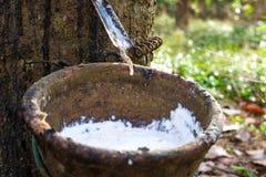 Látex extraído da fonte da árvore da borracha de borracha natural fotografia de stock