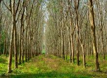 Látex extraído da fonte da árvore da borracha de borracha natural imagem de stock royalty free