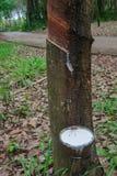 Látex extraído da fonte da árvore da borracha de borracha natural foto de stock royalty free