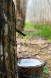 Látex lechoso extraído de la Hevea Brasiliensis del árbol de goma como fuente de caucho natural Fotografía de archivo libre de regalías
