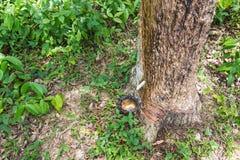 Látex lechoso extraído del árbol de goma (Hevea Brasiliensis) Imagen de archivo libre de regalías