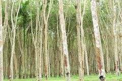 Látex leitoso extraído da árvore da borracha, fonte de árvore da borracha natural no lugar de Tailândia fotografia de stock