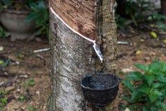 Látex que cosecha de las plantas de goma Imagen de archivo libre de regalías