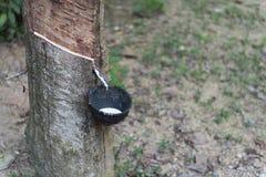 Látex que cosecha de las plantas de goma Fotografía de archivo