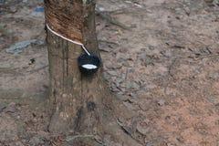 Látex que cosecha de las plantas de goma Foto de archivo libre de regalías