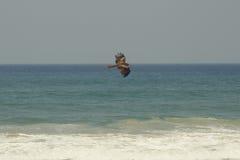 Lâchement le faucon monte au-dessus de la mer Images stock