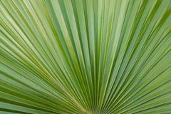 Lâmina da palma Imagem de Stock