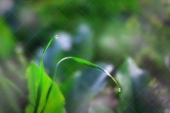 Lâmina de grama com uma gota do fim da água acima Imagem de Stock