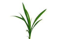 Lâmina de grama isolada no fundo branco Fotos de Stock Royalty Free