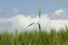 Lâmina do trigo Foto de Stock