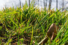 Lâminas Backlit da grama verde de Sunny Sky Clouds Behind Bright moídas fotografia de stock royalty free