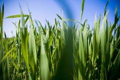 Lâminas de grama Imagem de Stock