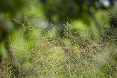 Lâminas de grama com fundo verde, Maharashtra, Índia fotos de stock