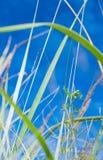 Lâminas de grama em um céu azul Imagem de Stock Royalty Free