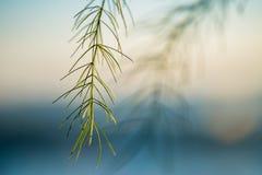 Lâminas de grama finas Imagens de Stock Royalty Free