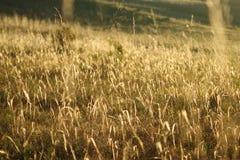 Lâminas douradas Fotografia de Stock