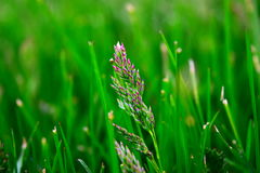 Lâminas verdes Foto de Stock Royalty Free