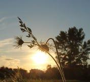 Lâmpada pequena da flor delicada na perspectiva de ajustar o sol imagem de stock