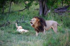 Löwen Стоковые Фото