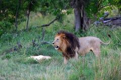 Löwen Стоковые Изображения RF