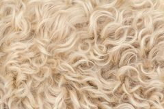 Lãs brancas e marrons do terrier wheaten revestido macio irlandês da pele foto de stock