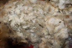 Lãs sujas dos carneiros Foto de Stock