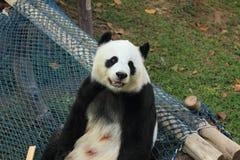 Lächeln des riesigen Pandas (9 Jahre alt) Lizenzfreies Stockfoto
