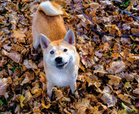 Lächeln Shiba Inu Stockfotografie
