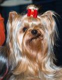 Lächeln Yorkshires Terrier stockfoto