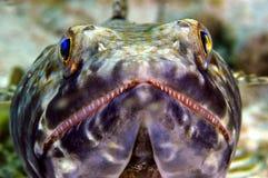 Lächelnde Eidechse Fische Stockfoto