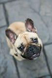 Lächelnde französische Bulldogge Lizenzfreies Stockfoto